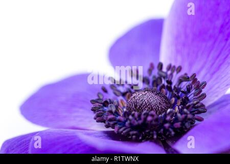 Anemone coronaria De Caen Group, purple poppy anemone flower, windflower, closeup, UK - Stock Photo