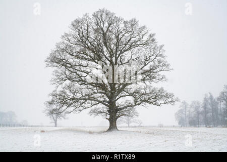 Quercus robur. Oak tree in the winter snow in the english countryside. Kings Sutton, Northamptonshire. UK. A scene taken in different seasons - Stock Photo