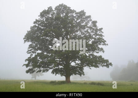 Quercus robur. Oak tree in the early morning summer fog in the english countryside. Kings Sutton, Northamptonshire. UK - Stock Photo