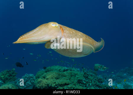 Common cuttlefish (Sepia officinalis), Selayar Island, Sulawesi, Flores Sea, Pacific, Indonesia - Stock Photo