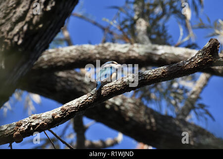 An Australian, Queensland Female Sacred Kingfisher ( Todiramphus sanctus ) perched on a tree branch - Stock Photo
