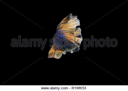 Beautiful movements of the Siamese fighting fish isolate on black background - Stock Photo