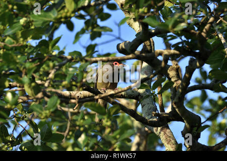 An Australian, Queensland Male Figbird ( Sphecotheres viridis ) peering through the branches - Stock Photo