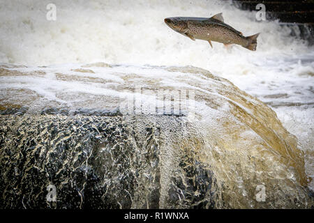 Leaping Sea Trout on its migration to the spawning beds upstream - Stock Photo
