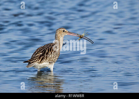 Eurasian Curlew (Numenius arquata) adult with crab in bill, Schleswig-Holstein, Germany - Stock Photo