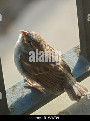 House Sparrow (Passer domesticus), freshly fledged young bird on balcony rail, Spain - Stock Photo