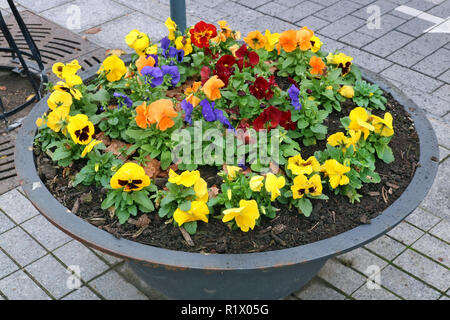 Pansies autumn  gentle red  yellow and blue flowers grow in an old metal  modern steel street flowerpot.  CLoudy November day urban shot - Stock Photo
