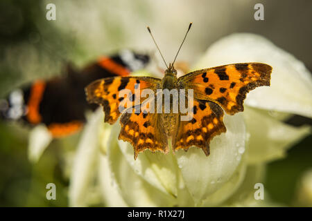 A comma butterfly perched on a flower - Stock Photo
