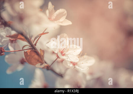 Spring Cherry blossoms blooming, pink flowers, Sakura Japanese flowers season, with blank copy space - Stock Photo