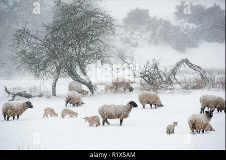 Weather: Sheep and lambs forage for grass near Oxton Lauder, Scottish Borders during the  'Beast from the East storm.' - Stock Photo
