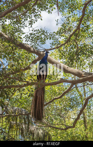 Indian blue peacock perched on branch with green leaves under a blue sky with clouds in Sydney, Australia - Stock Photo