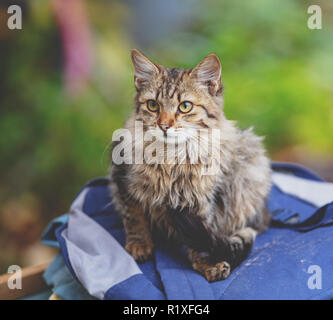Siberian cat sitting on a bag in the garden - Stock Photo