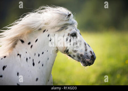 Shetland Pony. Miniature Appaloosa galloping on a meadow, portrait. Germany - Stock Photo