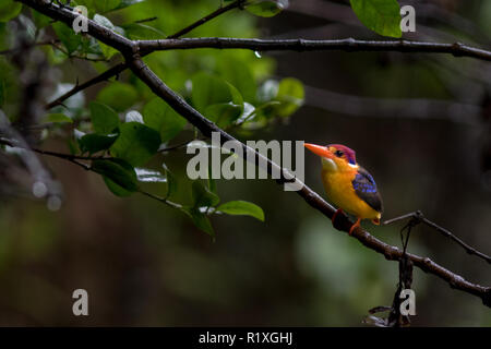 The Oriental dwarf kingfisher (Ceyx erithaca) in Tamhini Ghat and Mulshi Dam in western ghats of Pune, Maharashtra, India. - Stock Photo