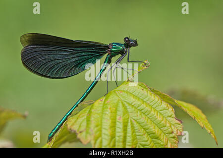 Beautiful Demoiselle, Bluewings (Calopteryx virgo). Adult male resting on a leaf. Germany - Stock Photo