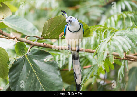 the White throated magpie jay on the branch in the tropical forest - Stock Photo