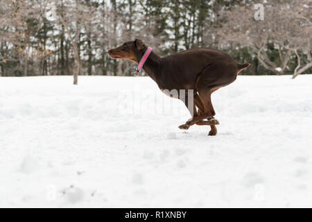 The Friendly brown Doberman dog on snow outdoor at winter season - Stock Photo