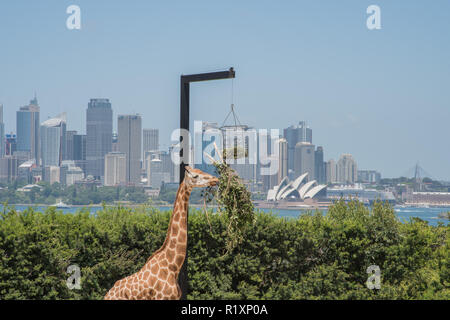 Sydney, New South Wales,Australia-December 21,2016: Giraffe feeding on hanging planter at the Taronga Zoo with skyline view in Sydney, Australia - Stock Photo