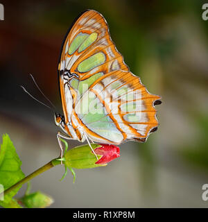 Malachite Butterfly perched on a Budding Flower - Stock Photo