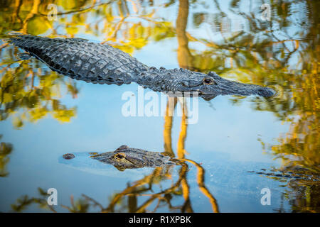 A large American Alligator in Orlando, Florida - Stock Photo
