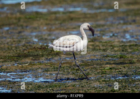 Lesser Flamingo  Phoeniconaias minor Velddrif, Western Cape District, South Africa 9 September 2018      Immature      Phoenicopteridae - Stock Photo