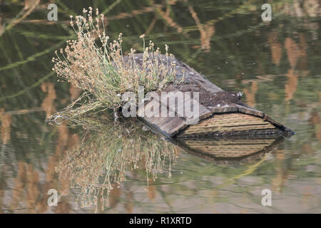 An artificial float in a cattle pond in a California regional park, presumably to create a basking spot for turtles. - Stock Photo