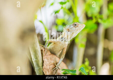 Oriental Garden Lizard, eastern garden lizard or changeable lizard on the rock against green background in natural garden - Stock Photo