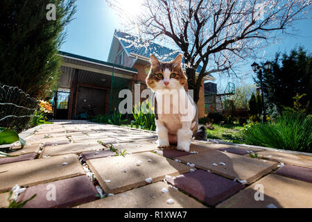 Norwegian Forest Cat walks through the courtyard of the house in the garden which is covered with petals of a blossoming tree apricot. - Stock Photo