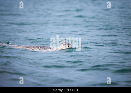 Wild seal in blue waters of the Sea of Japan - Stock Photo