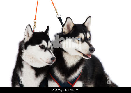 Two husky dogs with blue and brown eyes isolated on white - Stock Photo