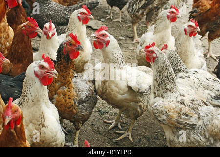 Group of hens and roosters on the poultry yard - Stock Photo