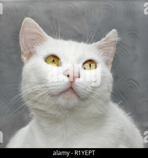 Portrait of a white cute domestic cat close up on a background of gray wall - Stock Photo