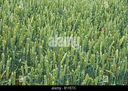 Green ears of wheat on the field in ripening period in early summer - Stock Photo