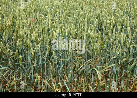 Green ears of wheat on the field in ripening period in summertime - Stock Photo