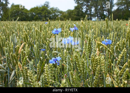 Blue cornflower flowers on the ripening wheat field near the forest in windy weather - Stock Photo