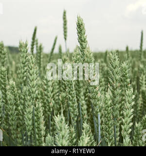 Green ears of wheat in the field before ripening in June close-up - Stock Photo