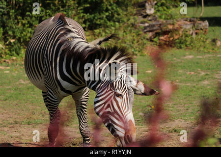A Grévy's zebra eating hay in the park. A beautiful animal with alternating black and white. Hot days in summer - Stock Photo