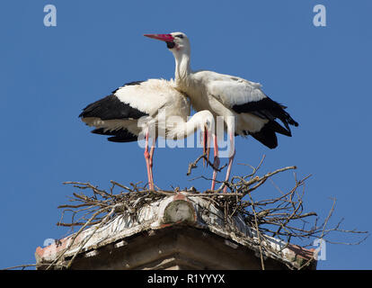 White Stork (Ciconia ciconia). Couple displaying on nest, Germany - Stock Photo