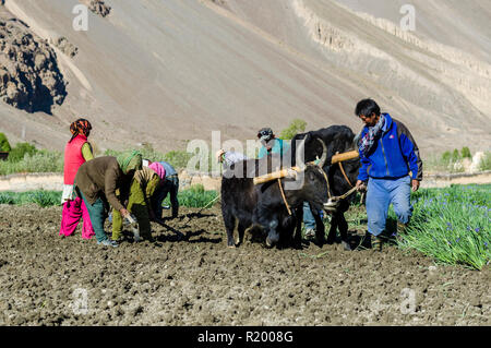 A local farmer ploughing a field, using oxes, in the high altitude of Spiti Valley - Stock Photo