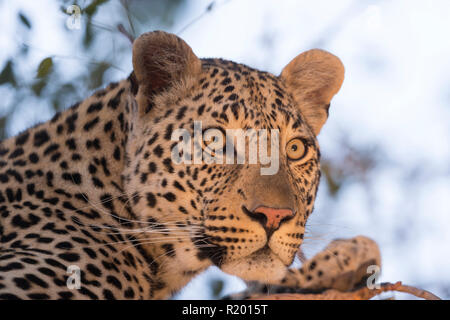 African Leopard (Panthera pardus). Adult resting in a tree. Mala Mala Game Reverve, South Africa - Stock Photo