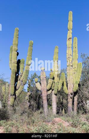 Mexican Giant Cardon Cactus (Pachycereus pringlei). Largest cactus in the world. Baja California, Mexico - Stock Photo