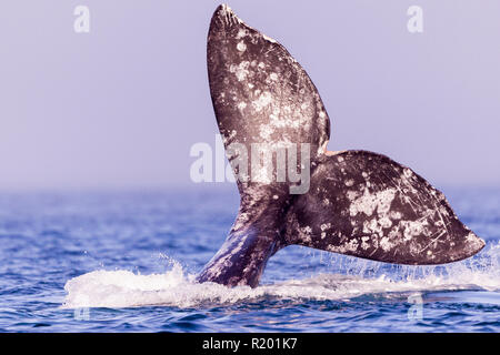 Gray Whale, Grey Whale (Eschrichtius robustus), fluke tail with trademarks that are distinctive signs of each whale. - Stock Photo