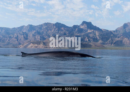 Fin Whale, Finback Whale, Common Rorqual (Balaenoptera physalus). Resident adult at winter feeding grounds, Sea of Cortez, Baja California, Mexico - Stock Photo