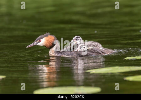 Great Crested Grebe (Podiceps cristatus). Adult swimming with chick on the back, which is trying to eat a fish. Germany. - Stock Photo
