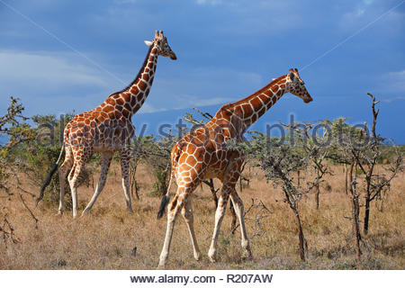 Two Giraffes (Giraffa camelopardalis) at savanna of Samburu National Reserve, Kenya, Africa - Stock Photo