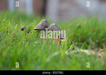 Close up of a group of mushrooms growing in a lawn from an eye level viewpoint - Stock Photo