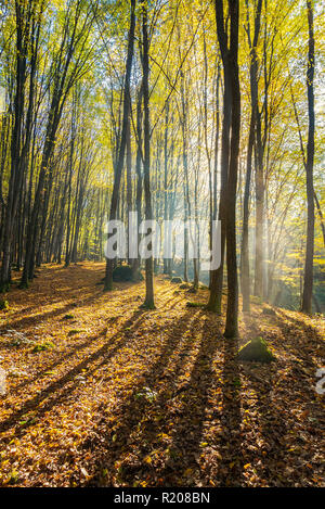 foggy morning in autumn forest. beautiful light through fog among the trees in yellow foliage - Stock Photo