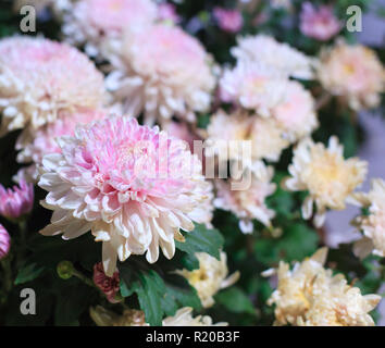 Beautiful pink and white blossoming chrysanthemum flowers as background picture. Chrysanthemum in bloom natural backdrop, wallpaper, Hardy garden mums - Stock Photo