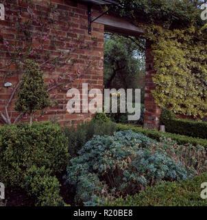 Herb rue growing in walled garden - Stock Photo