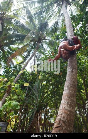 Coconut tree climbing demonstration near Muri Lagoon, Rarotonga, Cook Islands. - Stock Photo